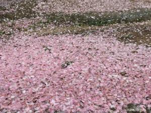 1604いぬま桜じゅうたん